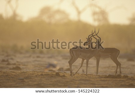 Two Gazelle side by side on savannah - stock photo