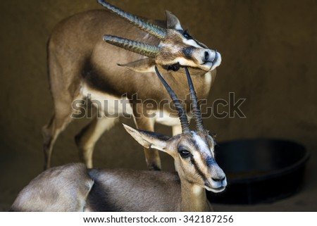 Two gazelles rest in a shaded area while one scratches its chin on the horn of another gazelle. - stock photo