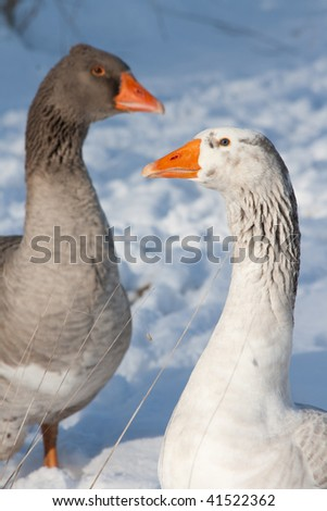 two geese in the snow