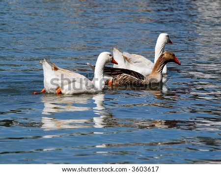 Two geese swim on river