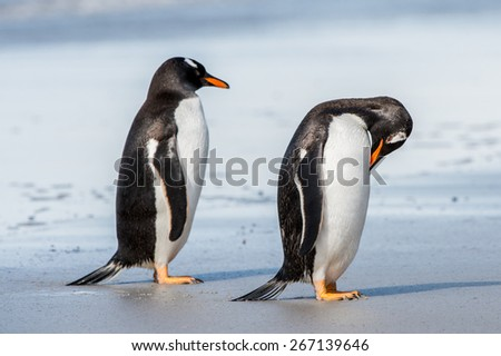 Two gentoo penguins together - stock photo