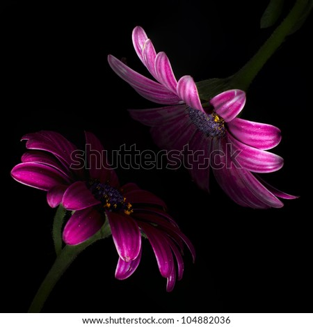 Two Gerberas in black background - stock photo