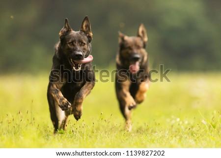 two German Shepherd Dogs