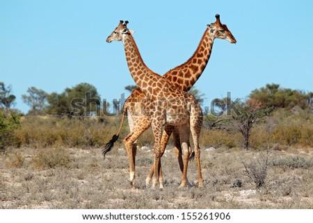 Two giraffe bulls (Giraffa camelopardalis), South Africa   - stock photo