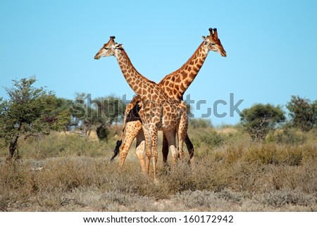 Two giraffe bulls (Giraffa camelopardalis), South Africa
