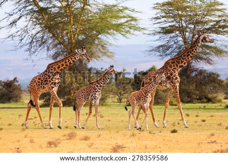 Two giraffe families - 2 mothers, 14 days old baby and 21 days old baby - stock photo