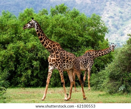 Two giraffes are grazed at acacia bushes. The pair giraffes is grazed at green bushes of an acacia at bottom of mountains.