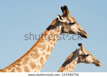Two giraffes (Giraffa camelopardalis) framed against light blue sky - stock photo