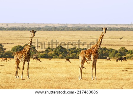Two giraffes (Giraffa camelopardalis) on the Maasai Mara National Reserve safari in southwestern Kenya. - stock photo