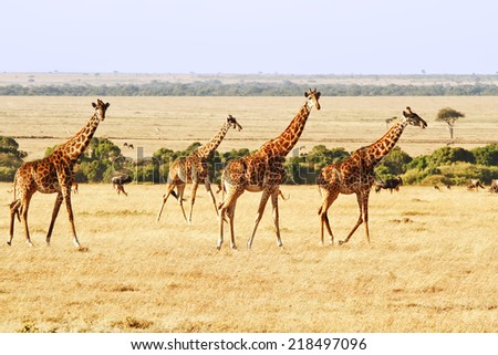 Two giraffes (Giraffa camelopardalis) on the Maasai Mara National Reserve safari in southwestern Kenya.