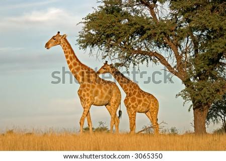 Two giraffes (Giraffa camelopardalis) under a camel thorn (Acacia erioloba) tree, Kalahari, South Africa - stock photo
