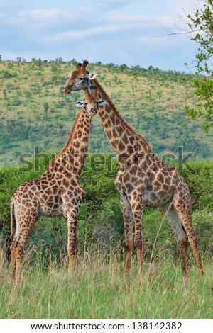 two giraffes in South Africa - stock photo