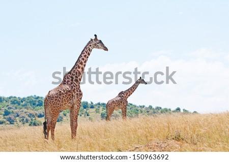 two giraffes in the savannah in kenya - national park masai mara - stock photo