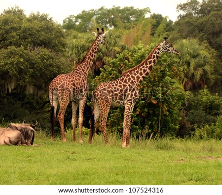 Two giraffes in their natural environment in Africa