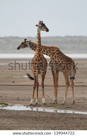 Two giraffes near water and wagging tails