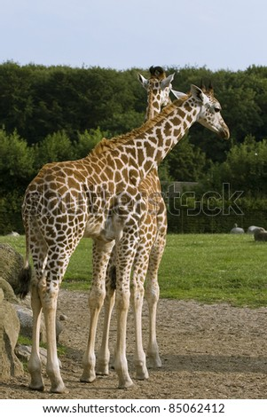 Two giraffes standing on green grass in a zoo