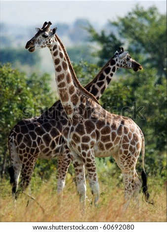 Two giraffes. Under a shining sun two giraffes stand at a tree with the crossed long necks. - stock photo