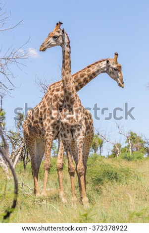 Two giraffes with their necks crossed - stock photo