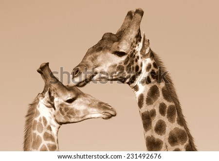 Two girrafe together in this unique image of their faces and neck. - stock photo