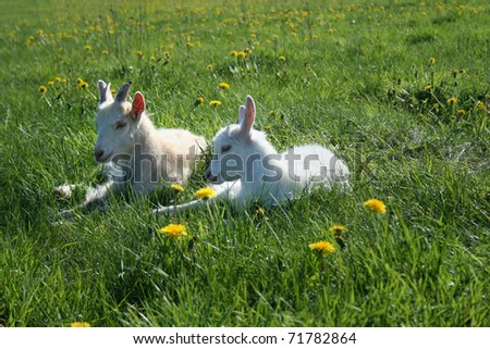 two goat calves are resting in the sunlight on the green field with yellow dandelions - stock photo