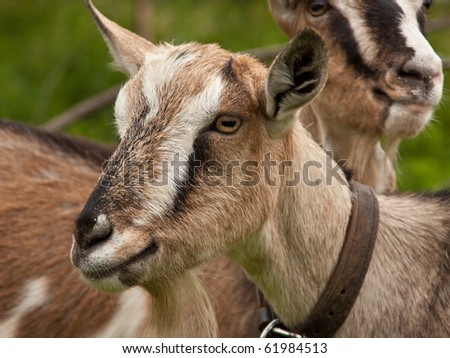 Two goats at farm
