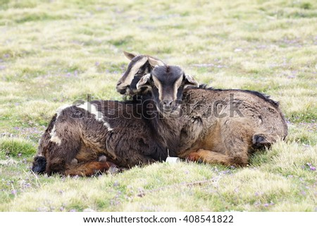 Two goats on pasture in Geech camp, Simien mountains, Ethiopia - stock photo