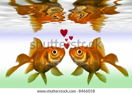 two gold fish kiss in fish tank close up - stock photo