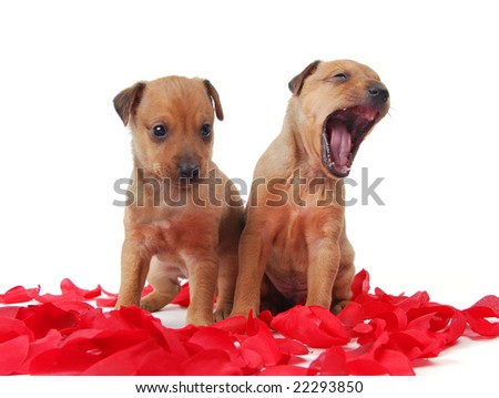 Two Golden Colored  puppies standing in a pile of rose petals, one yawning - stock photo