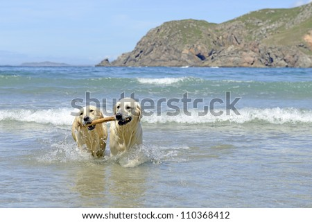 two golden retriever dogs coming with stick out of the sea - stock photo