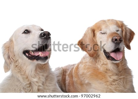 Two Golden Retriever dogs in front of a white background. Dog on the right is blind. - stock photo