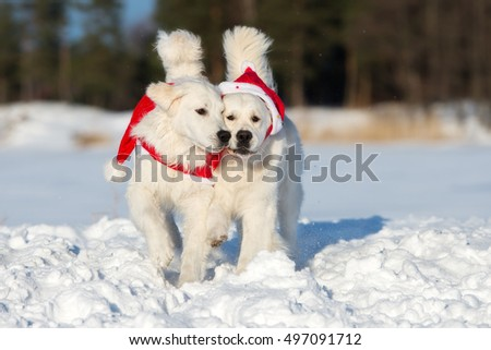two golden retriever dogs playing in winter