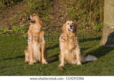 Two Golden Retriever dogs sitting in a park, one looking sideways the other looking forward, both dogs looking happy. - stock photo
