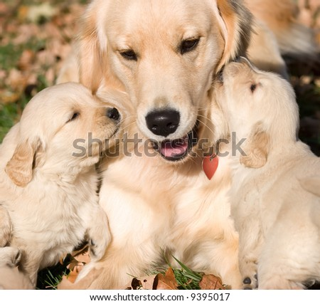 two golden retriever puppies kissing mother - stock photo