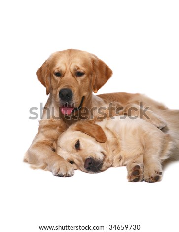 Two golden retrievers on a white background. - stock photo