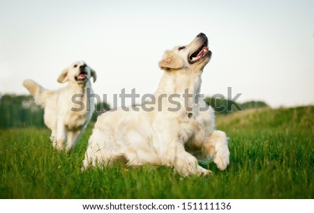 Two golden retrievers playing in the yard - stock photo
