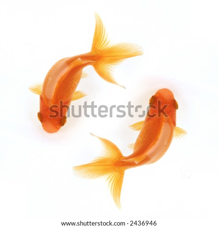 Two goldfish swimming in circles isolated on white, birdseye view