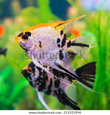 Two gorgeous pterophyllum fishes in aquarium - stock photo