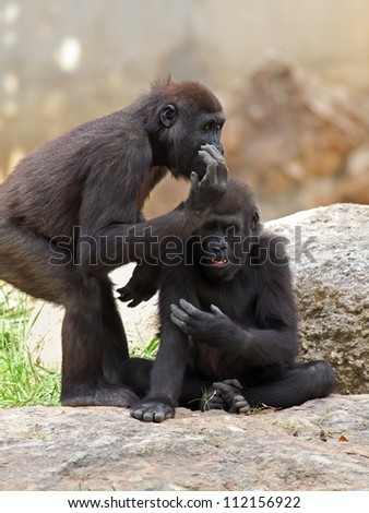 two gorillas in zoo - stock photo