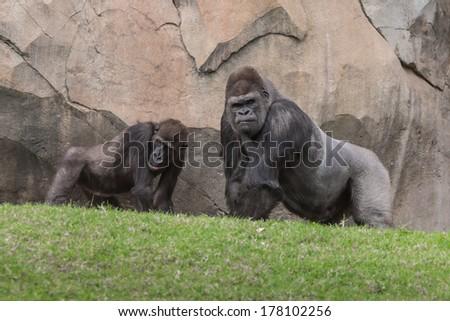 Two gorillas talking - stock photo