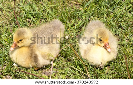 Two gosling on green grass - stock photo