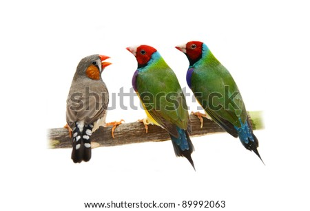 Two Gouldian Finch - Erythrura gouldiae and Zebra Finch in front of a white background - stock photo
