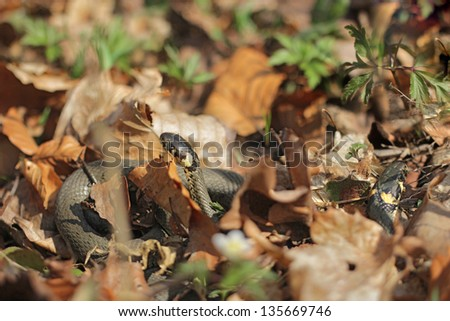 Two grass snakes (Natrix natrix), sometimes called the ringed snake or water snake in beach forest - stock photo