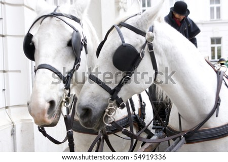 two gray horses pulling a harnessed horse team - stock photo