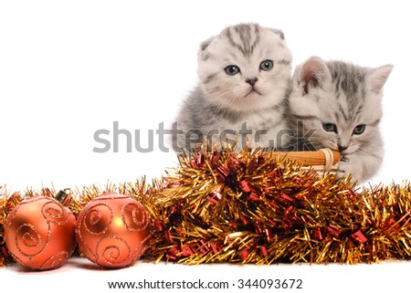 two gray kitties sibs with coppery and golden christmas tinsel and balls isolated on white background - stock photo
