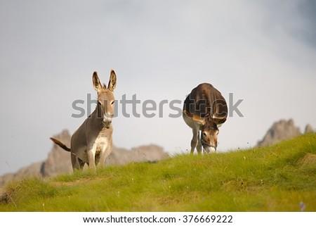Two Grazing Donkeys - stock photo
