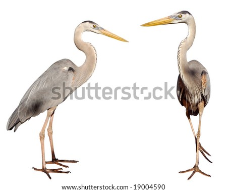 Two Great Blue Heron, Ardea herodias, on a white background. - stock photo