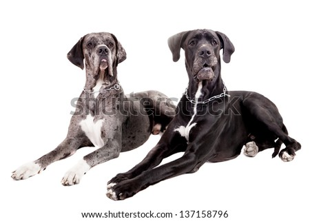 Two great Dane dogs on front of a white background - stock photo