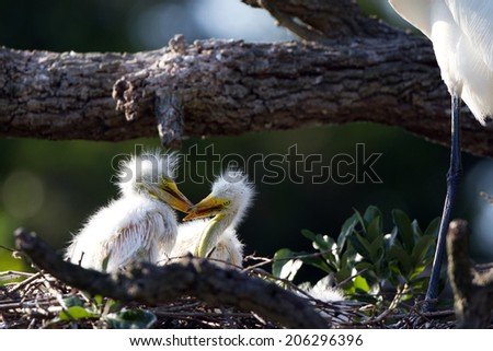 Two Great Egret chicks fight in the nest as their mother stands overhead - stock photo