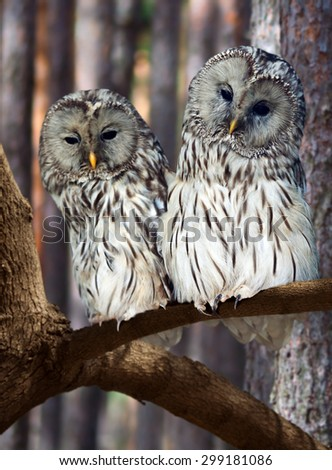 Two Great Grey Owls (Strix nebulosa) on tree at pine forest - stock photo