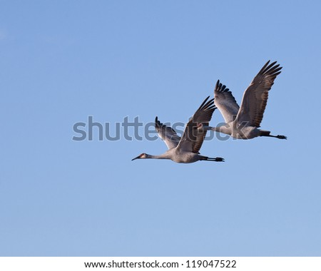 Two Greater Sandhill Cranes in flight against a blue sky - stock photo